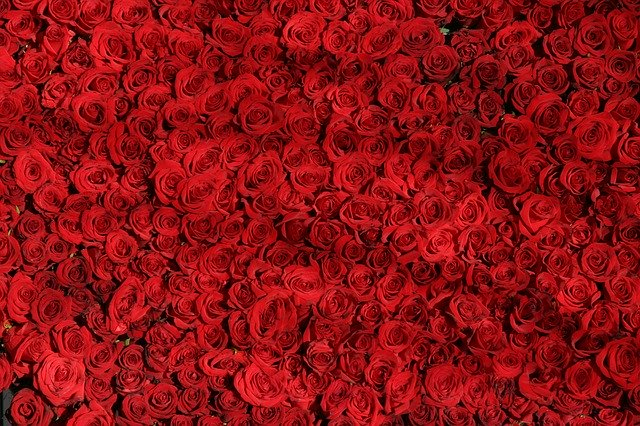 Rose Roses Flowers Red Valentine